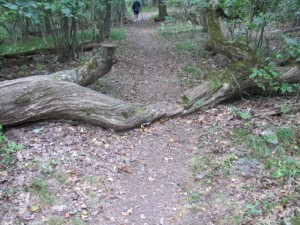 a trail with a downed tree across it that has been cut out to provide access