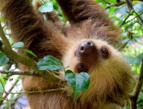 a smiling brown sloth hanging from a branch with a leaf partially covering one eye