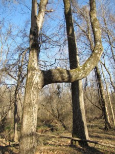tree with bent limb