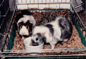 two guinea pigs; one is brown and white the other is gray and white