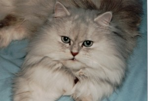 white Persian cat on a light blue background